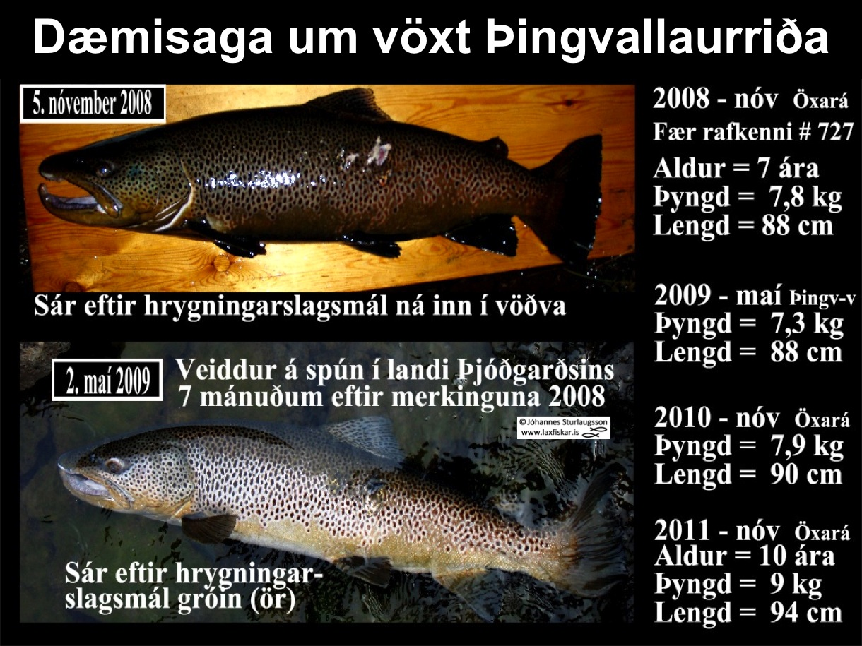 5_thingvallaurridi_voxtur_4_ar_oxara_thingvallavatn_research_body_growth_brown_trout-copyright-johannes_s_laxfiskar.is