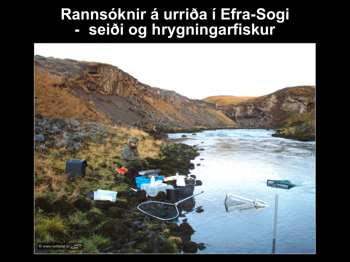 30_thingvallaurridi_rannsoknir_lake_thingvallavatn_river_efra_sog_study_area_brown_trout_spawners-copyright-laxfiskar.is