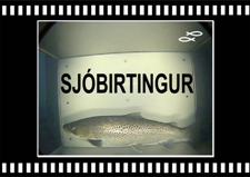 Sjobirtingur-5-Sea-Trout-Tungulaekur-Copyright-Laxfiskar.is-225x159