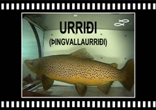 Urridi-hrygna-haengur-Brown-trout-Oxara-Lake-Thingvallavatn-Copyright-Laxfiskar.is-225x159
